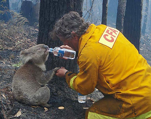 23. A firefighter gives water to a koala.