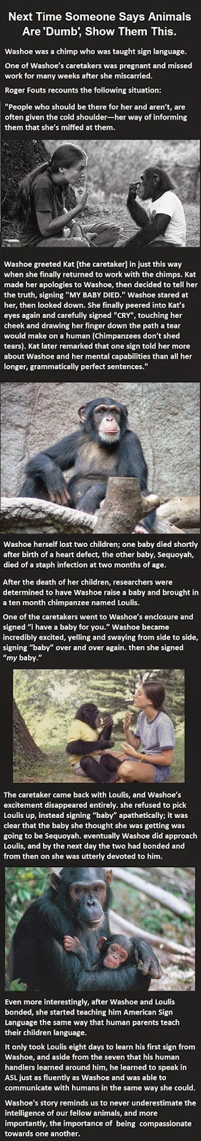 Chimp Reaction To A Lost Baby