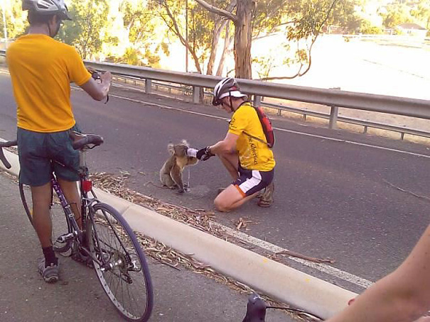 Cyclist stops to give water to a very thirsty koala.