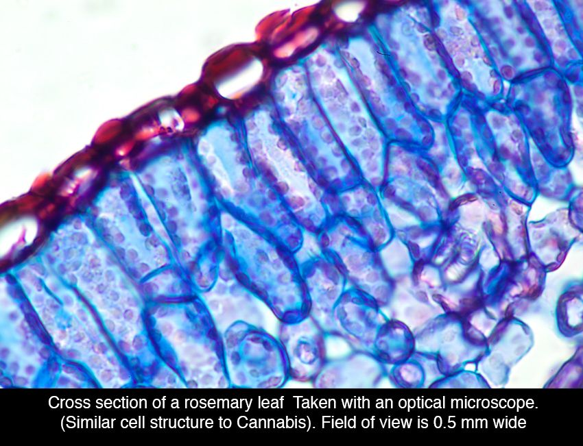 Rosemary leaf Under The Microscope