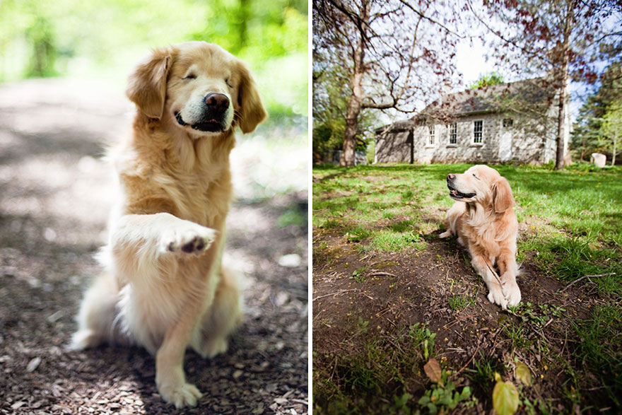 blind_Golden_Retriever_1