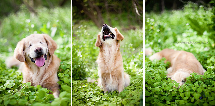 blind_Golden_Retriever_5