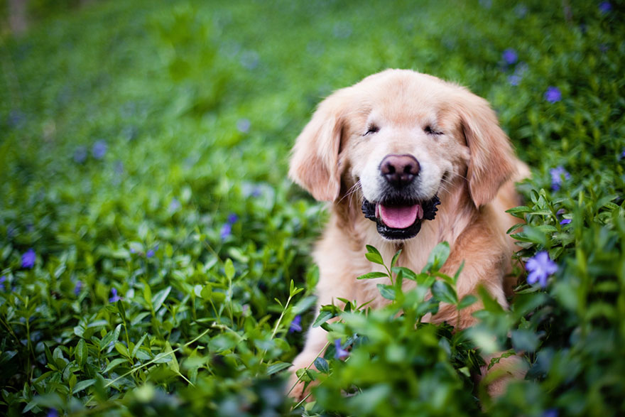 blind_Golden_Retriever_6