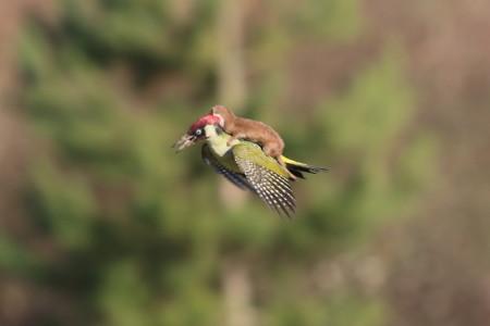 woodpeacker_rides_weasel
