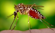 Millions Of Genetically Modified Mosquitoes Set To Be Released: This Is Why It's A Problem