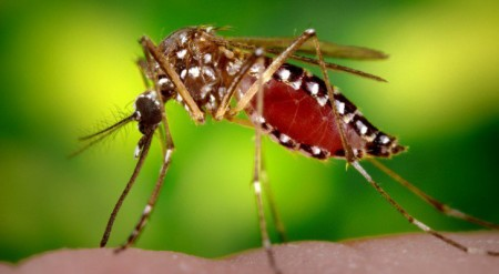 Millions Of Genetically Modified Mosquitoes To Be Released