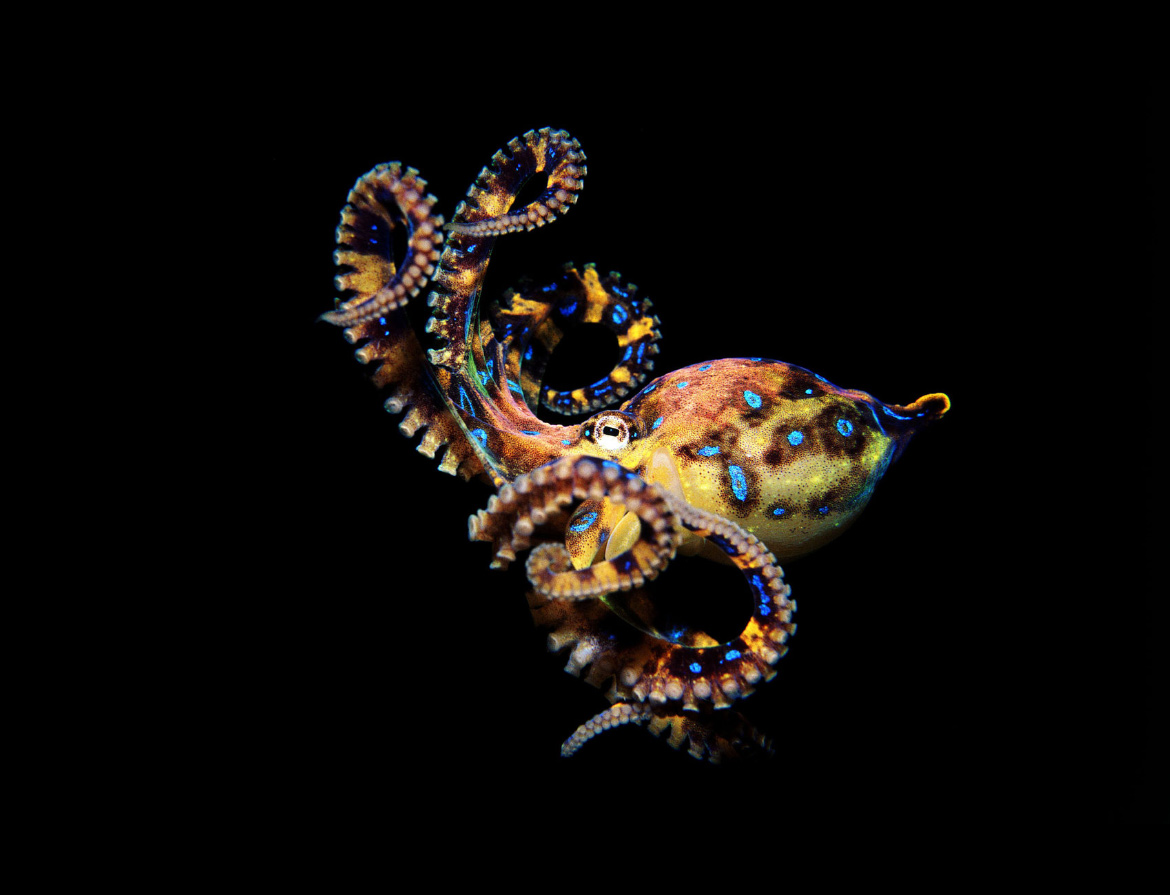 How Much Consciousness Does An Octopus Have