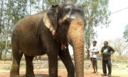 An elephant that was in a circus for 50 year is freed, and she is looks very happy.