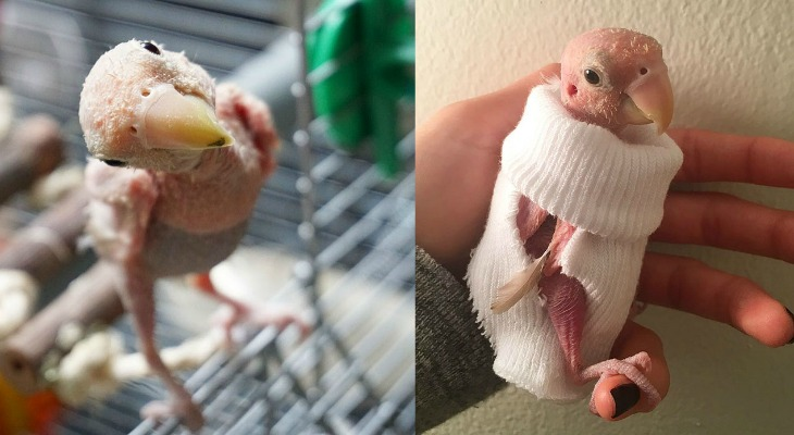 Internet Falls In Love With Featherless Lovebird