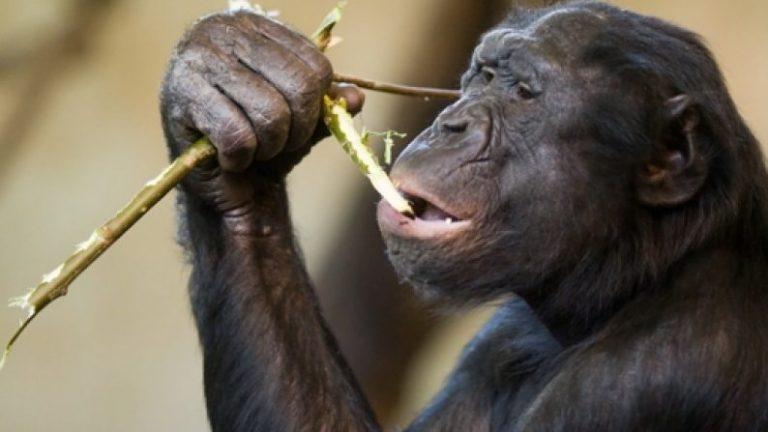 Bonobo Starts Fires