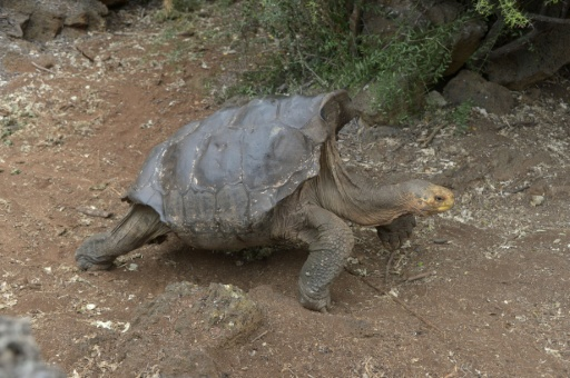 diego-a-giant-tortoise-who-fathered-800-children-and-rescued-the-genre-from-demise