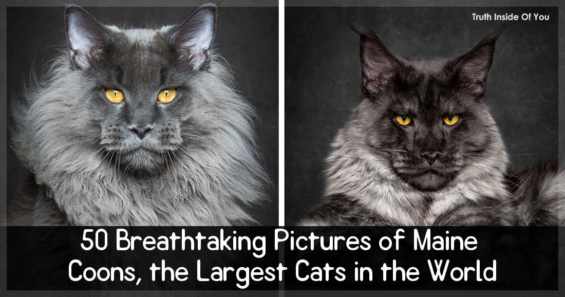 50 Breathtaking Pictures of Maine Coons, the Largest Cats in the World