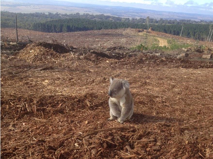 Homeless Koala