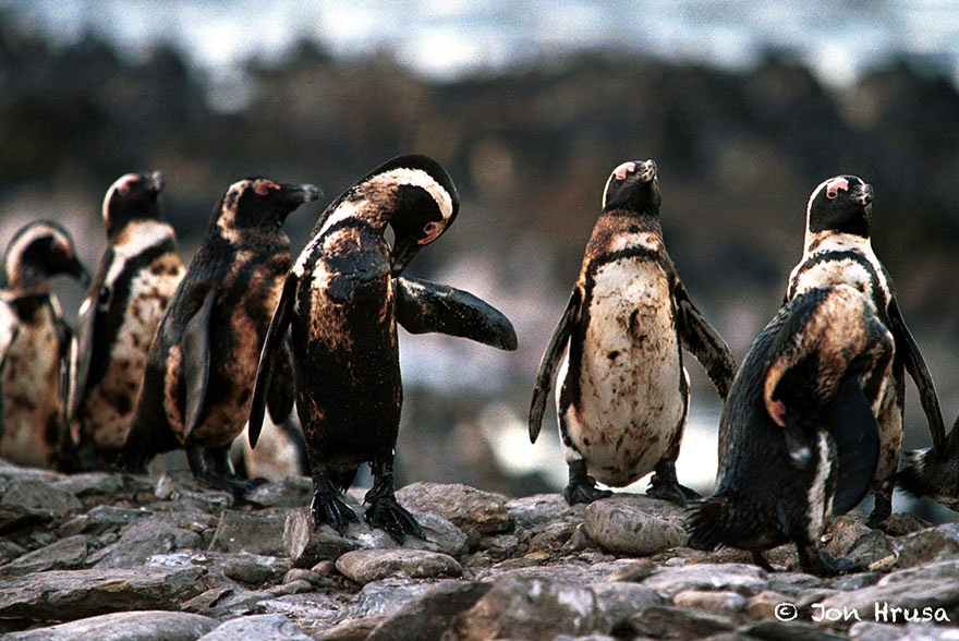 Oiled Penguins