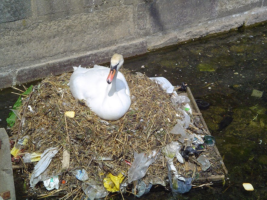 Swan Builds A Nest Using Plastic Garbage