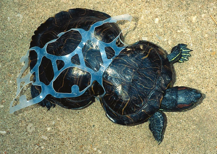 Tortoise Trapped In Plastic