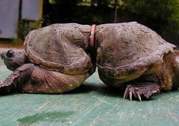 Turtle's Waist Couldn't Grow