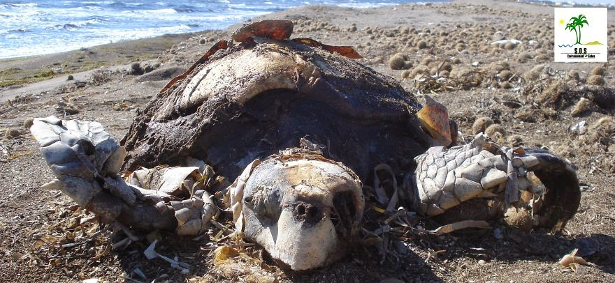 Turtle Population Killed
