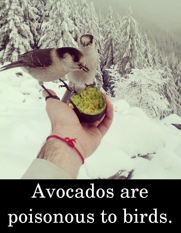 Avocados are poisonous to birds.