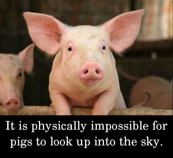 It is physically impossible for pigs to look up into the sky.
