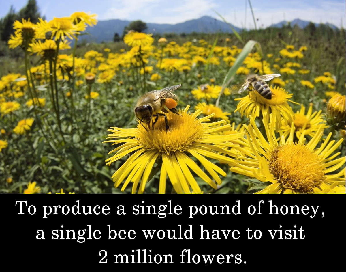 To produce a single pound of honey, a single bee would have to visit 2 million flowers.