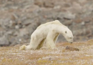 Climate change is driving polar bears to near extinction: Photographer Paul Nicklen and filmmakers from Sea Legacy have captured a heartbreaking visual of what this actually looks like.