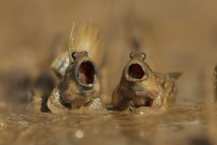 Mudskippers Got Talent