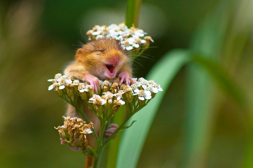 The Laughing Dormouse