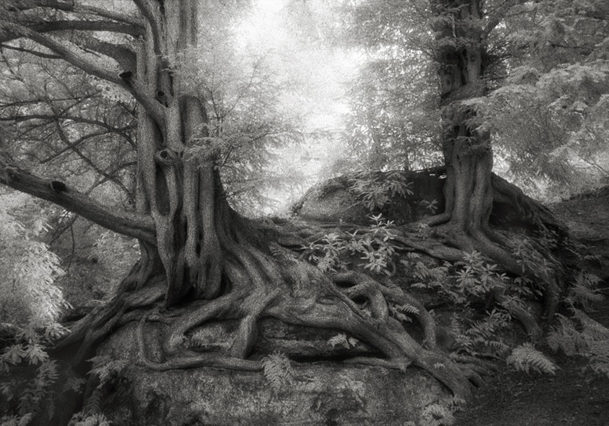 Ancient-Trees-10