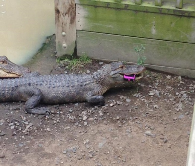 1. Imagine a fun day at the zoo. Imagine your phone falling down in the alligator pen. Not so fun anymore.