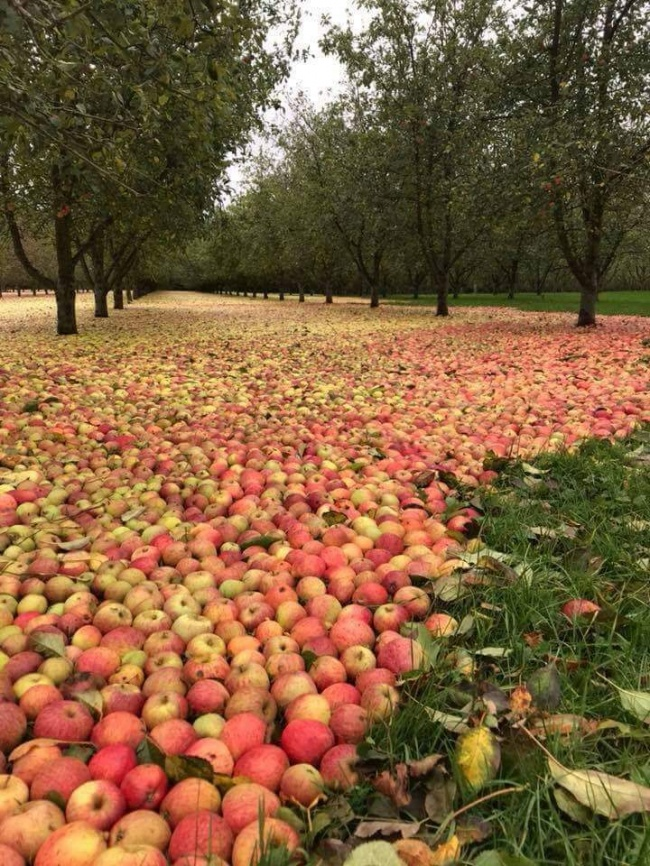 1. Hurricane Ophelia flooded a meadow with apples in Ireland. Sweet Irony.