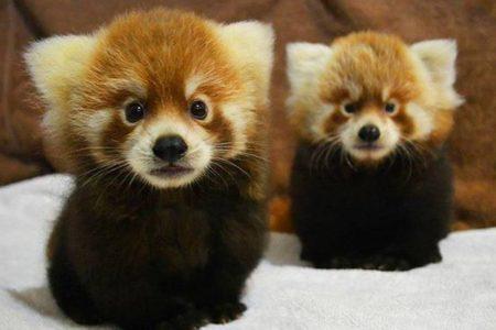 12. Red Panda