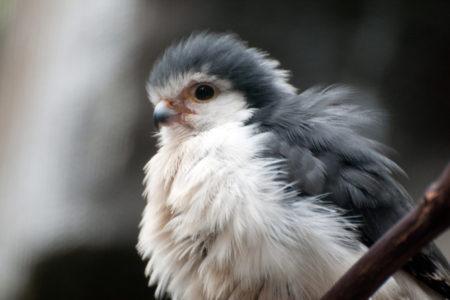 13. Baby Falcon