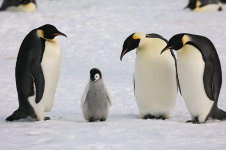 18. Baby Emperor Penguin