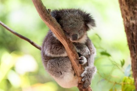 9. Koala