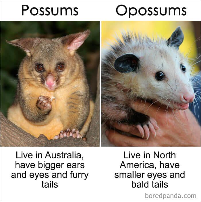 9. Possums vs Opossums