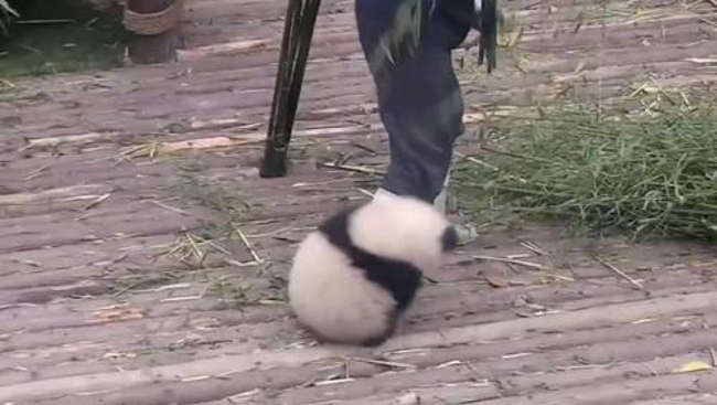 Adorable Baby Panda Trying To Play With Its Babysitter Has Gone Viral-2
