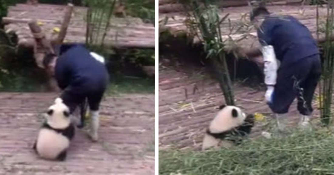 Adorable Baby Panda Trying To Play With Its Babysitter Has Gone Viral