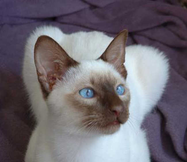 Colorpoint Siamese Cats