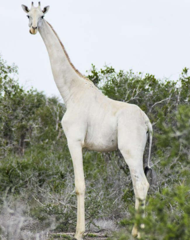 Rare White Giraffes Caught on Camera-3