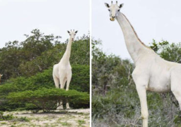 Rare White Giraffes Caught on Camera for First Time in History
