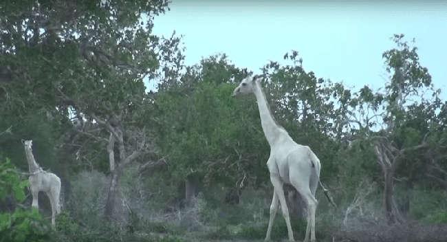 Rare White Giraffes Caught on Camera
