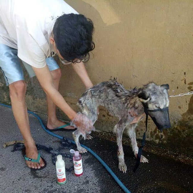 A Malnourished Husky Saved By a Kind Soul Who Brings Her Home - 4