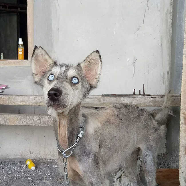 A Malnourished Husky Saved By a Kind Soul Who Brings Her Home - 5