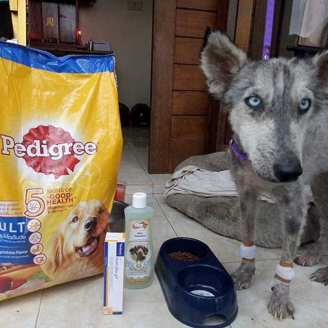 A Malnourished Husky Saved By a Kind Soul Who Brings Her Home - 7