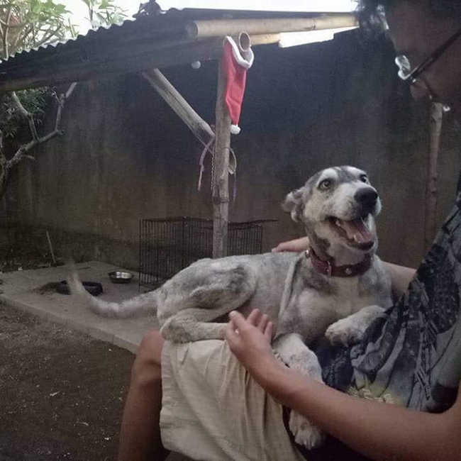 A Malnourished Husky Saved By a Kind Soul Who Brings Her Home - 9
