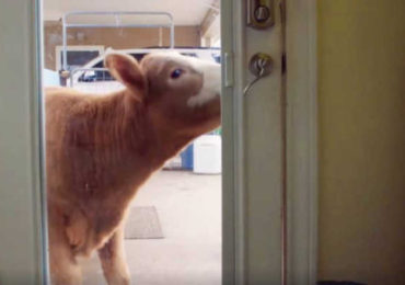 Baby Cow Brought Into The House During The Hurricane, Now She Wants To Stay