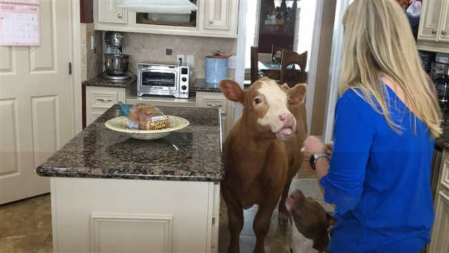 Baby Cow Brought Into The House During The Hurricane