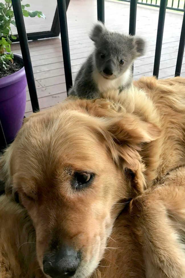Golden Retriever Who Saved The Life Of A Baby Koala - 2