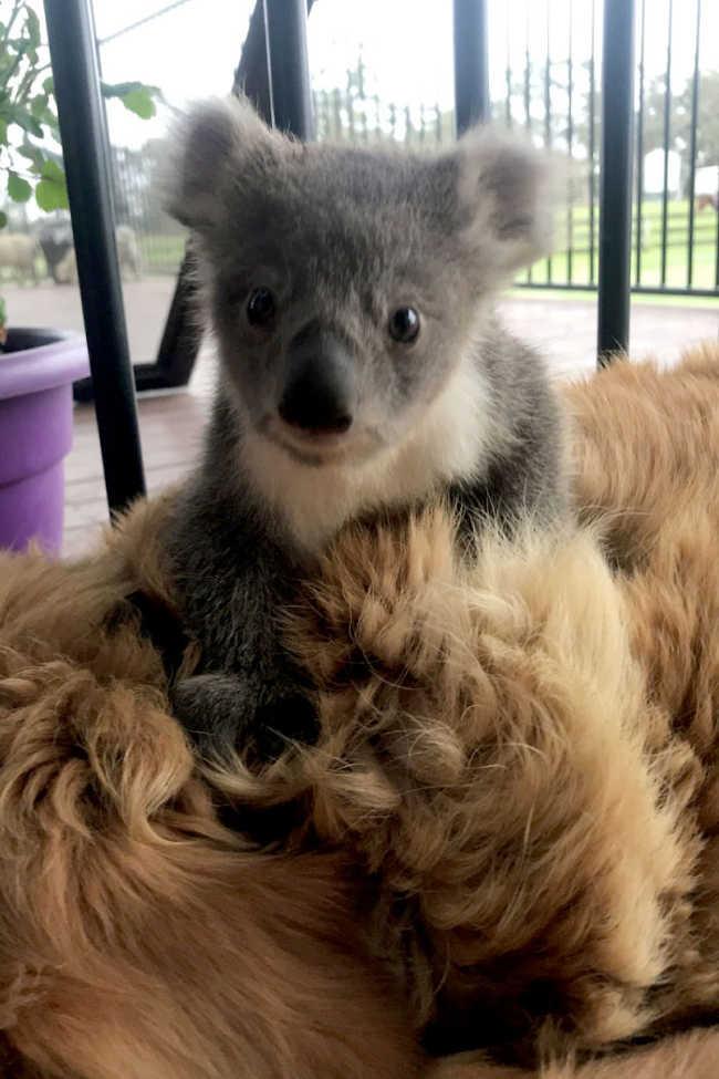 Golden Retriever Who Saved The Life Of A Baby Koala - 3